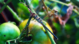 Tomato Dragon 2 by Samatar, photography->insects/spiders gallery