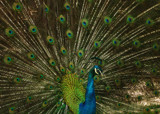 Peacock by Alexxandra, Photography->Birds gallery