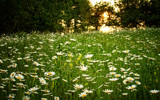 Daisy Field by PhilipCampbell, photography->flowers gallery