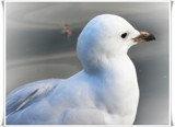 Sitting Gull by LynEve, Photography->Birds gallery
