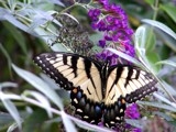 Dining out at the Butterfly Bush by louis22, Photography->Butterflies gallery