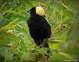 Bobolink by GIGIBL, photography->birds gallery