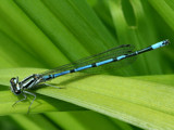 Coenagrion Pulchellum by Paul_Gerritsen, Photography->Insects/Spiders gallery