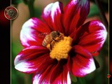 Busy Bee - Collaboration by nmsmith, Photography->Flowers gallery
