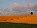 Golden Field II by BernieSpeed, Photography->Landscape gallery