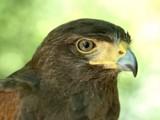 Hawk Eye by drgibson, Photography->Birds gallery