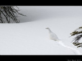 Ptarmigan by d_spin_9, Photography->Birds gallery