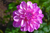 Shining Dahlia by Ramad, photography->flowers gallery