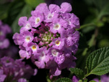 purple lantana by jeenie11, Photography->Flowers gallery