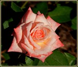 Minnie Pearl - miniature rose by trixxie17, photography->flowers gallery