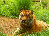 Posing Tiger by Gabbels, Photography->Animals gallery