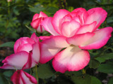 Roses of Twilight! by marilynjane, Photography->Flowers gallery
