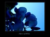S k i e s  o f  B l u e by jesouris, Photography->Flowers gallery