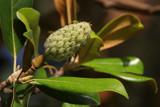 Magnolia by Mvillian, photography->nature gallery