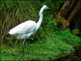 Kotuku by LynEve, photography->birds gallery