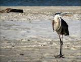 Island Birds III  Take 2 by allisontaylor, Photography->Birds gallery