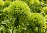 Dianthus Green Ball by trixxie17, photography->flowers gallery