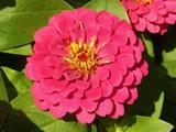 Friday Zinnia by trixxie17, photography->flowers gallery