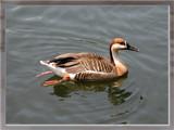 Ducks Unlimited VI by Hottrockin, Photography->Birds gallery