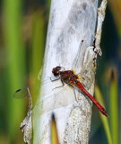 Male Common Darter by biffobear, photography->insects/spiders gallery