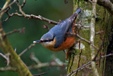 Just Another Nuthatch by biffobear, photography->birds gallery