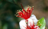 A Mystery in Red, White, and Gold by Nikoneer, photography->flowers gallery