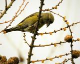 Crossbill by biffobear, photography->birds gallery