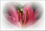 Lily Heart by LynEve, photography->flowers gallery