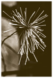 Pine Needle FIreworks by theradman, photography->nature gallery