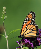 Butterflies Are Free #10 by tigger3, photography->butterflies gallery