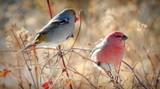 Pine Grosbeak by GIGIBL, photography->birds gallery