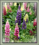 Russell Lupins by LynEve, Photography->Flowers gallery