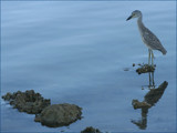 young yellow crowned night-heron by madmaven, Photography->Birds gallery