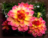 Dahlia Foofy by tigger3, photography->flowers gallery