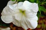 Petunia by braces, Photography->Flowers gallery