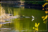 Riverbank Fishing by corngrowth, photography->birds gallery