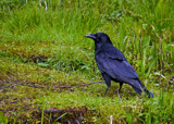 The Old Crow by biffobear, photography->birds gallery