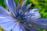 Chicory in blue by rozem061, Photography->Flowers gallery