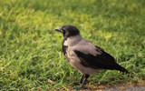 Crow@2.8 by boremachine, Photography->Birds gallery
