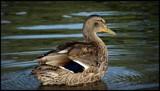 Mallard by GIGIBL, photography->birds gallery
