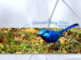 Splendid Fairy Wren by Samatar, Photography->Birds gallery