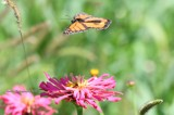Monarch Butterfly In Flight by tigger3, photography->action or motion gallery