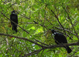 Two Tui by LynEve, photography->birds gallery