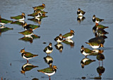 Lapwing Conference by biffobear, photography->birds gallery
