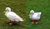 Comparisons by biffobear, Photography->Birds gallery