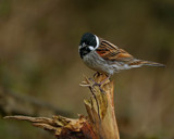 Male Reed Bunting by biffobear, photography->birds gallery