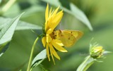 The Clouded Sulphur Butterfly by tigger3, photography->butterflies gallery