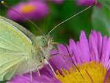 It's drinking by Larser, Photography->Butterflies gallery