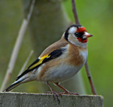 Goldfinch by biffobear, photography->birds gallery