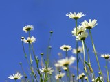 Oxeye Daisys2 by pom1, Photography->Flowers gallery